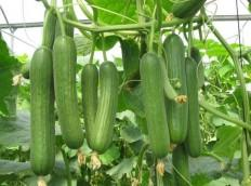 Cucumber Vegetables