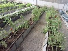 Vegetables in Soilless